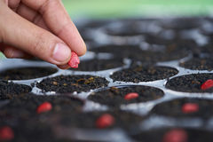 A woman farmer hands put momordica seed in nursery trays. Royalty Free Stock Image