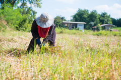 Woman farmer are harvesting rice in field Stock Images