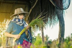 Woman farmer is harvesting rice in Thailand. Royalty Free Stock Photography