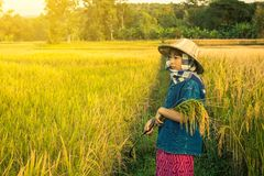 Woman farmer is harvesting rice in Thailand. Stock Photo