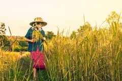 Woman farmer is harvesting rice in Thailand. Royalty Free Stock Image