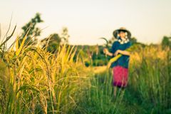 Woman farmer is harvesting rice in Thailand. Royalty Free Stock Photo