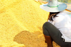 Woman farmer and heap up paddy rice grains,Thailand. Stock Photos
