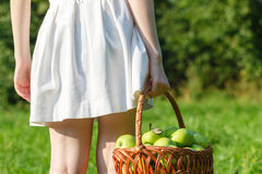 Woman farmer holding basket of apples in the garden Stock Photography