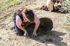 Woman farmer during the olive harvest campaign Stock Image