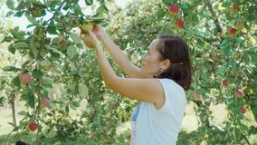 Woman farmer picks a new crop of apples in orchard.