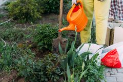 Woman farmer takes care of the plants on the plantation. farming. add fertilizer. watering plants from an orange watering can. Hands in gloves plant seeds. Woman Stock Image