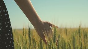 Woman farmer walks through wheat field at sunset, touching green ears of wheat with his hands - agriculture concept. A