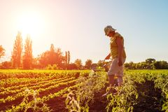 Woman farmer watering tomato seedlings from a watering can at sunset in countryside. Agriculture and farming concept. stock photography