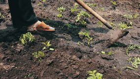 A woman farmer weeds the garden, cleans weeds around young green plants,Person chopping weeds with mattock. Working on a stock footage