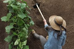 Woman farmer working with hoe in vegetable garden, hoeing the soil near a cucumber plant stock photos