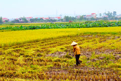 Woman farmer working on a rice field Royalty Free Stock Images