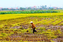 Woman farmer working on a rice field Stock Images