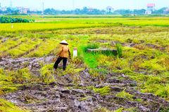Woman farmer working on a rice field Stock Photography