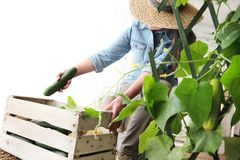 Woman farmer working in vegetable garden, collects a cucumber in. Wodden box, isolated on white royalty free stock image