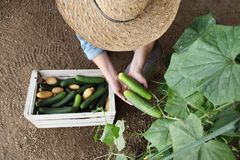 Woman farmer working in vegetable garden, collects a cucumber in stock image