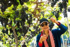 Woman in Vineyard with organic fresh grape for fruit and wine. Woman farmer works in green fresh organic agriculture of grape for fruit and wine Industry Stock Photography