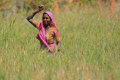 Woman Farming. NIMAJ BAGH, INDIA, FEBRUARY 28: An unidentified woman farming outside the village of Nimaj Bagh, Rajasthan, Northern India on FEBRUARY 28, 2012 Royalty Free Stock Images