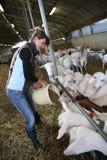 Woman farner feeding goats Royalty Free Stock Photography
