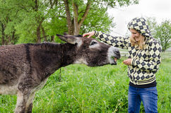 Woman feed cute wet donkey animal with grass. Farmer woman feed cute wet donkey animal tied with chain in green meadow grass pasture in rainy day Stock Photography