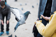 Woman with feed and a flying dove Royalty Free Stock Images
