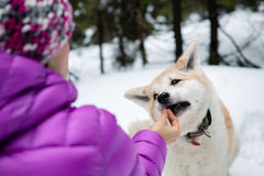 Woman feeding Akita Inu dog in snow, Karkonosze Mountains, Poland Royalty Free Stock Image