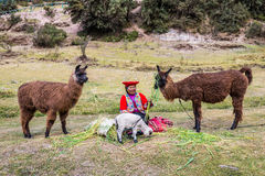 Woman feeding alpacas  Tambomachay ruins peruvian Andes at Cuzco Royalty Free Stock Images