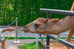 Woman feeding camel in farm, Thailand Stock Image