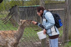 Woman is feeding a deer on a farm Royalty Free Stock Photography