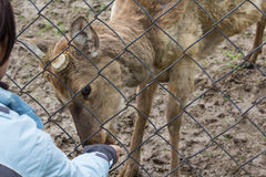 Woman feeding deer through the fence stock images