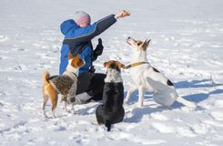 Woman feeding dogs while training some simple commands. Playing outdoor at winter season Stock Photography