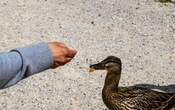 Woman is feeding a duck with old bread stock photography