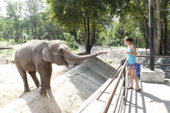 Woman feeding elephant Stock Image