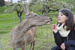 Woman feeding European Roe Deer, Capreolus capreolus Royalty Free Stock Image