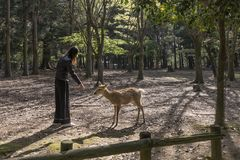 Woman feeding a fallow deer in Nara natural park, Japan royalty free stock photos