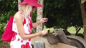 Woman feeding giant tortoise stock footage