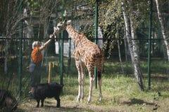Woman is feeding a giraffe.  royalty free stock photos