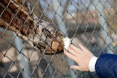 Woman feeding a giraffe through fence Stock Photo