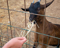 Woman feeding goat. Royalty Free Stock Photography