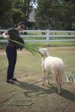 Woman feeding grass leaves to sheep in farm Stock Photos