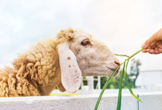 Woman feeding grass to sheep in farm Royalty Free Stock Photography