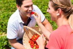 Woman feeding man strawberries she picked herself. Woman feeding men strawberries she picked herself putting them into his mouth royalty free stock photos