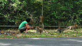Woman feeding monkeys stock video