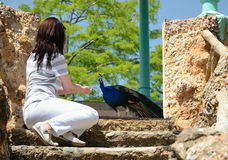 A woman feeding the peacock in the Park Sama Royalty Free Stock Photography