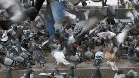 Woman is Feeding Pigeons on the Street. Crowd of pigeons at the feet of a man on the sidewalk. Flock of pigeons eating bread outdoors in the city street stock footage