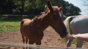 Woman is feeding small foal from palm on farmland