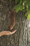 Woman feeding a squirre. L in the park stock photography