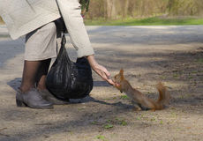 Woman feeding squirrel Stock Images