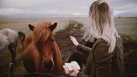 Woman feeding and stroking Icelandic horses grazing on a field. Female enjoying landscape and animals on the farm.