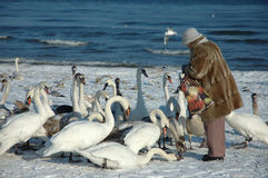 Woman is feeding the swans. On the beach in Poland/Central Europe/Baltic Sea Stock Photo